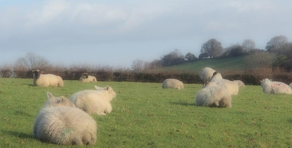 wollige Schafe auf der Heide
